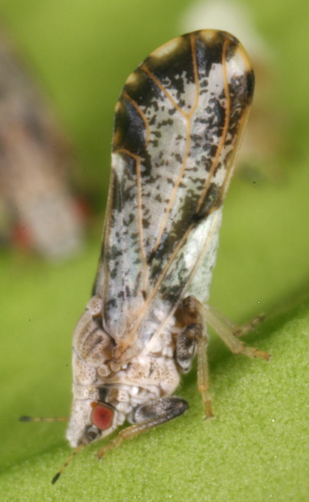 Asian citrus psyllid insect vector of citrus greening. IFAS