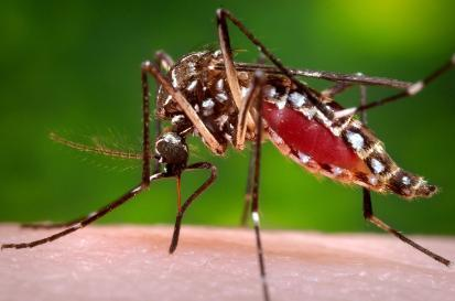 More Nitrogen in Mosquito Diet Reduces Its Ability to Transmit Zika